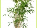 bambus_I